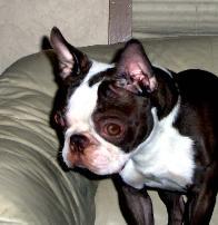Boston Terriers Health Hereditary Non Hereditary Problems